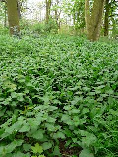 Ramsons Wild Garlic, Greenbank Drive Woodland