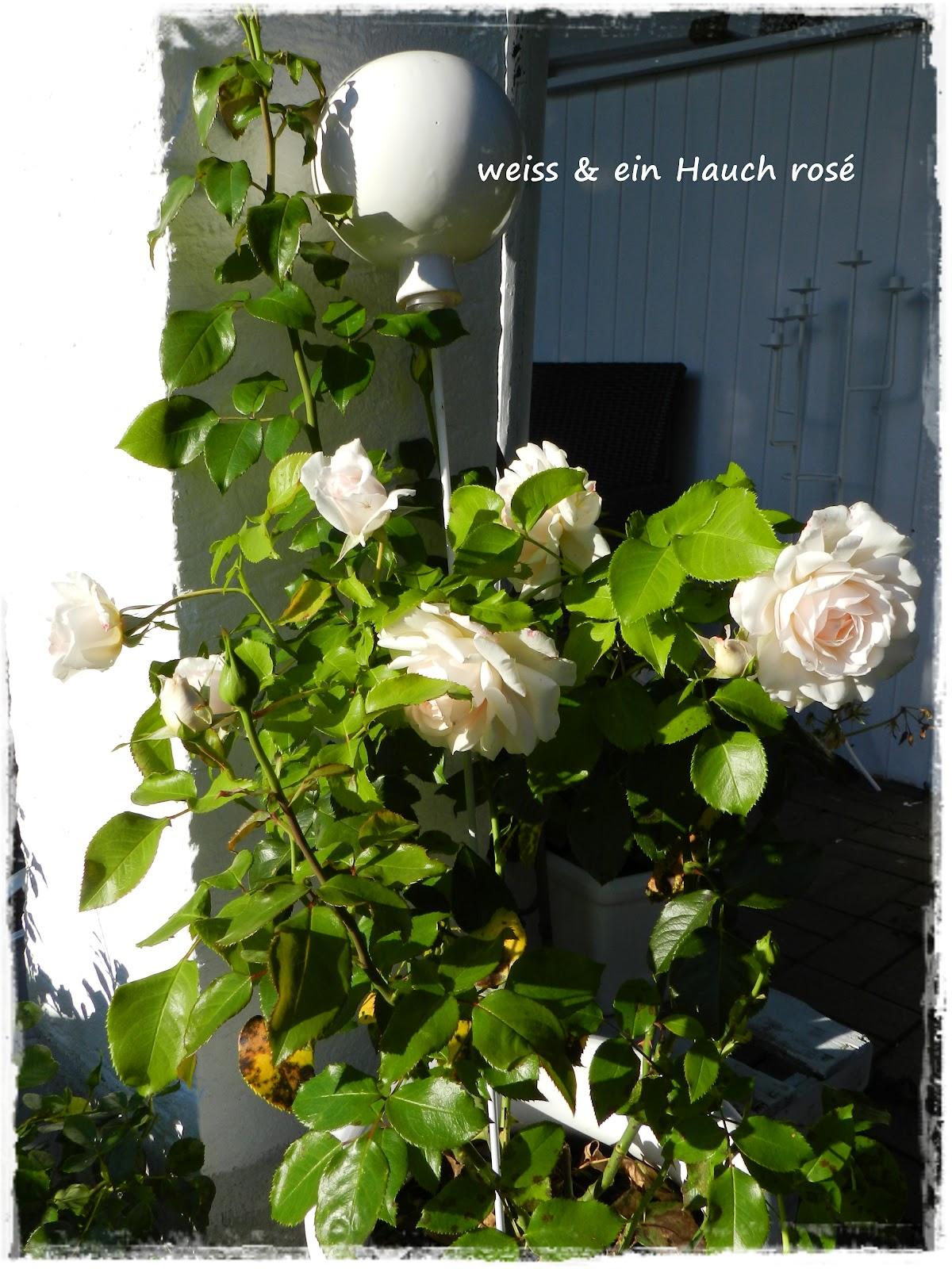 wei ein hauch ros lesestoff die letzten rosen. Black Bedroom Furniture Sets. Home Design Ideas