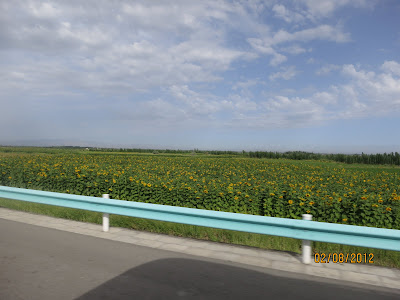 plantation de tournesol, il y en a beaucoup