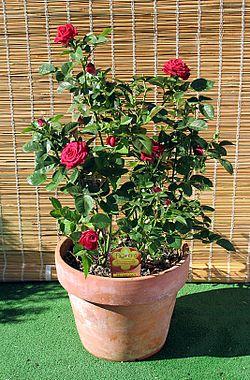 Conoblog utilidad de las plantas for Cuales son las plantas ornamentales