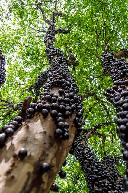 Buah Anggur Ini Hanya Berbuah Di Batang Pokok