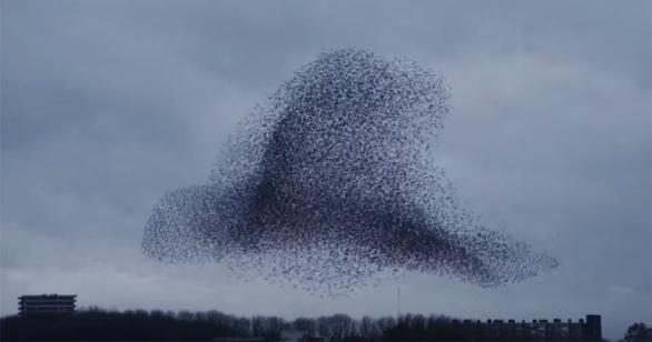 La belleza coordinada de miles de aves moviendose en sincronía