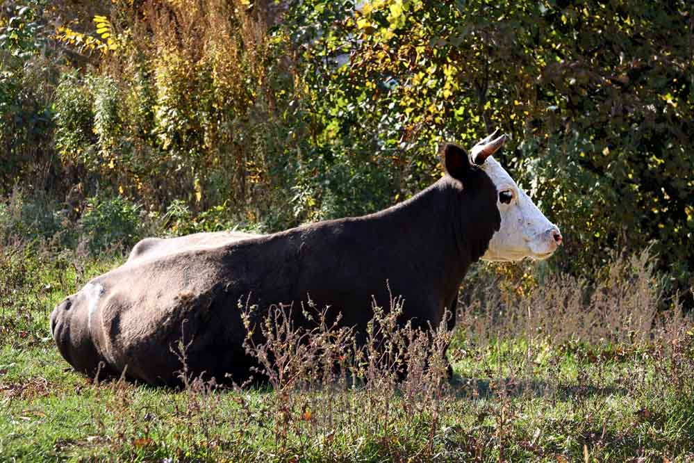 a cow in repose in the grass
