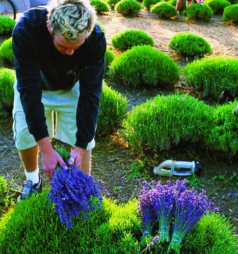 how to grow lavender like a pro alternative green world. Black Bedroom Furniture Sets. Home Design Ideas