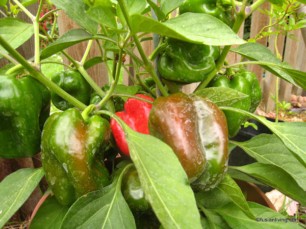 Green and Red Capsicum / Bell Pepper growing in container