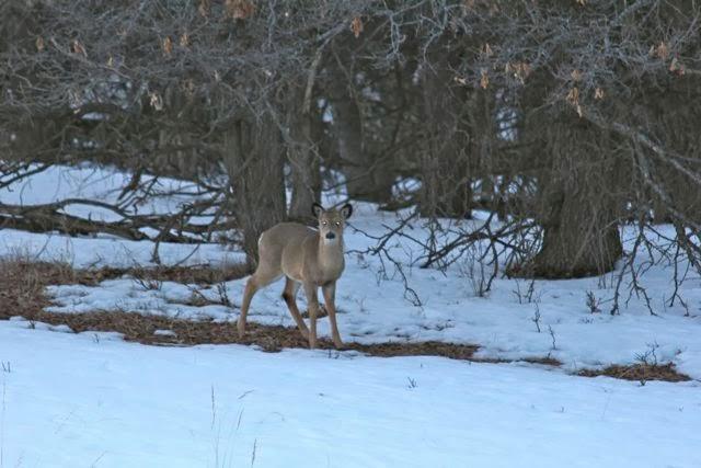 backyard snow melt with deer, March 2013