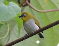 Prospek Bisnis Burung Pleci