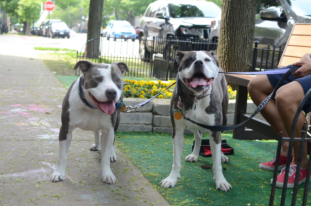 two pitties in the city city dog the taboo habits of city dogs