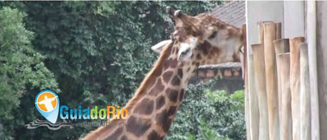 Girafa no zoológico do Rio
