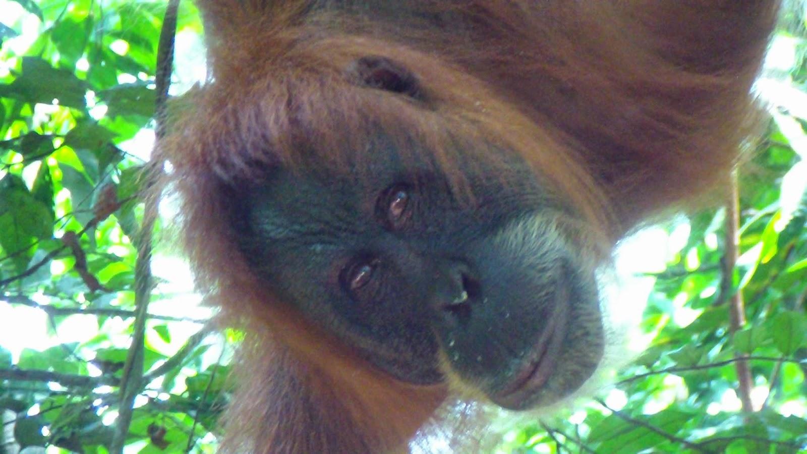 Orangutanes Sumatra