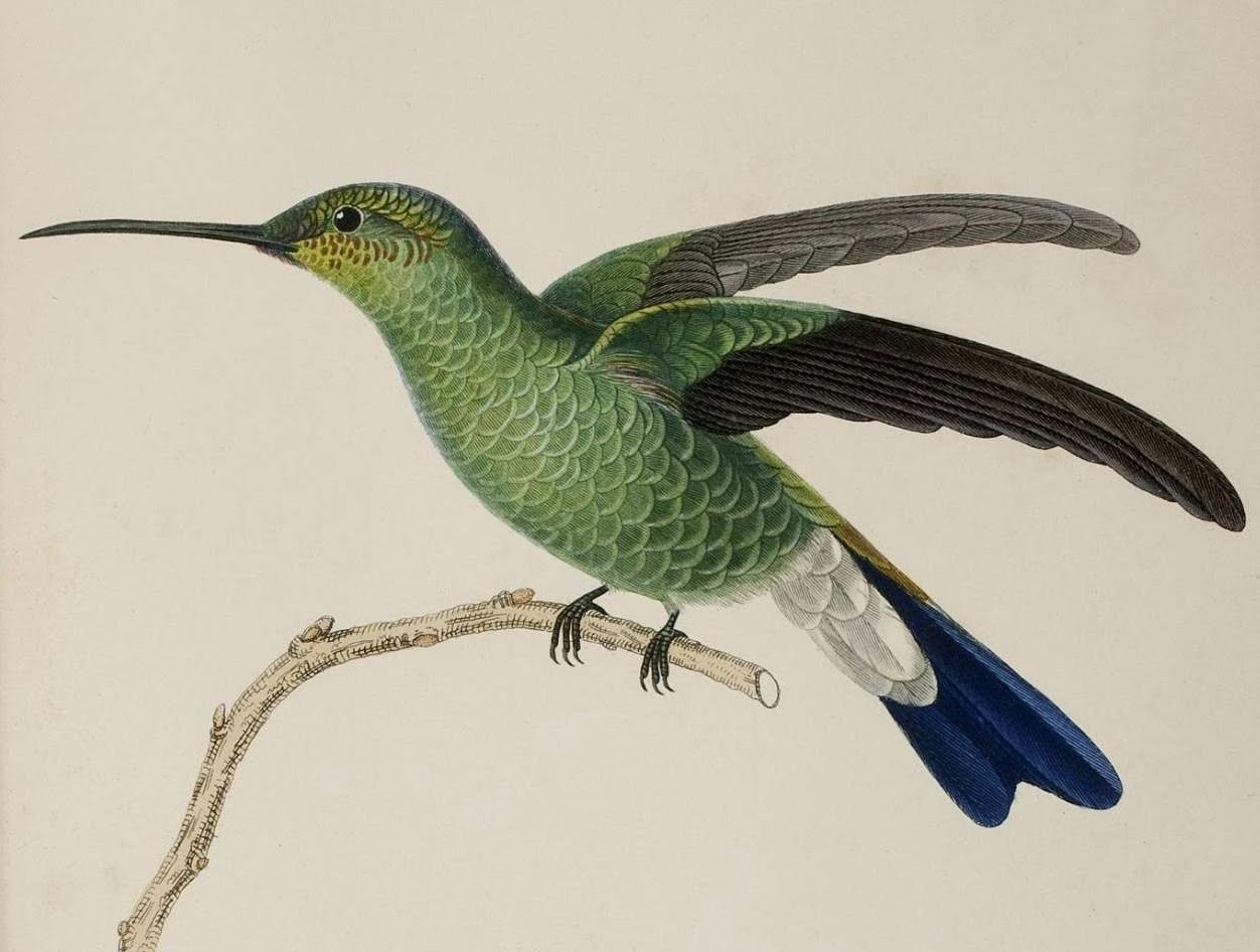 René Primevère Lesson illustration of hummingbird