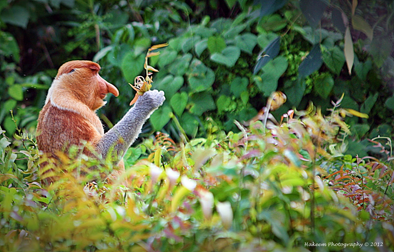 | Proboscis Monkey | Nasalis larvatus | Bekantan