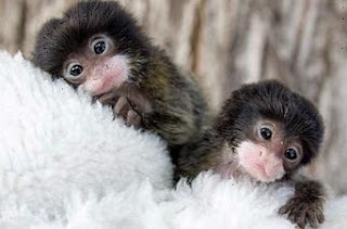 finger monkeys pets on white