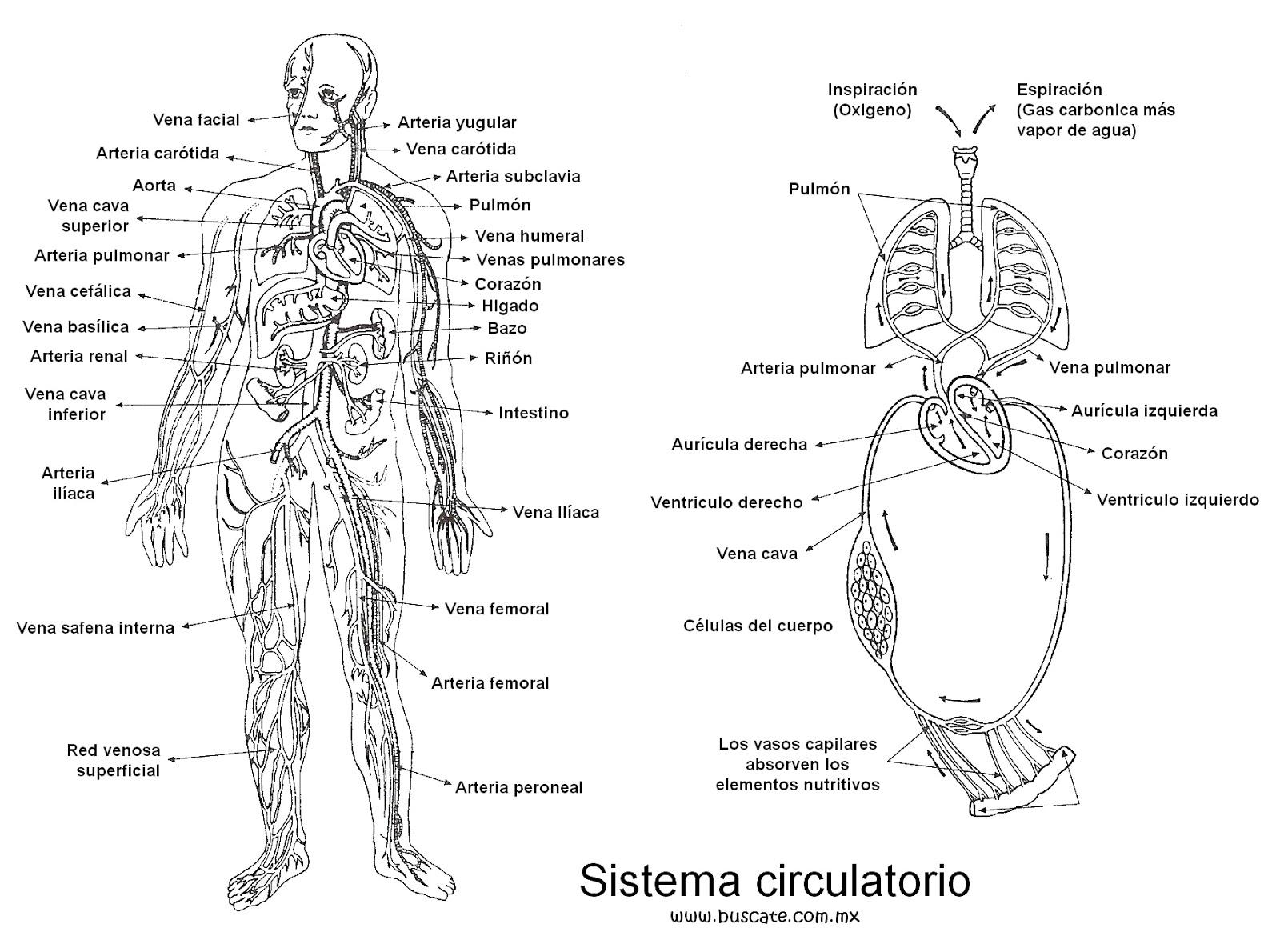 Saulo Enmanuel Matos Villanueva: Imagenes Anatómicas Humanas