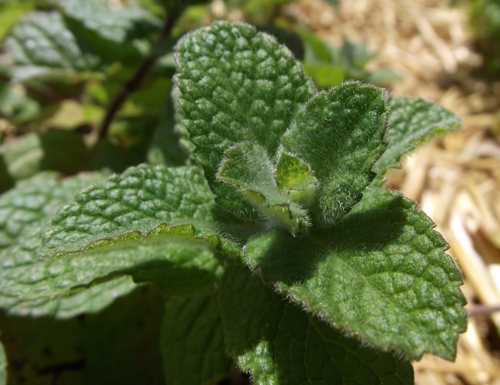 Http Tcpermaculture Blogspot Com 2012 01 Permaculture Plants Mint Html