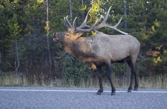 Elk bugling in Yellowstone National Park