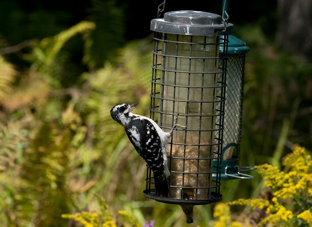 a female Hairy Woodpecker at a feeding station in Grants Woods, Orillia