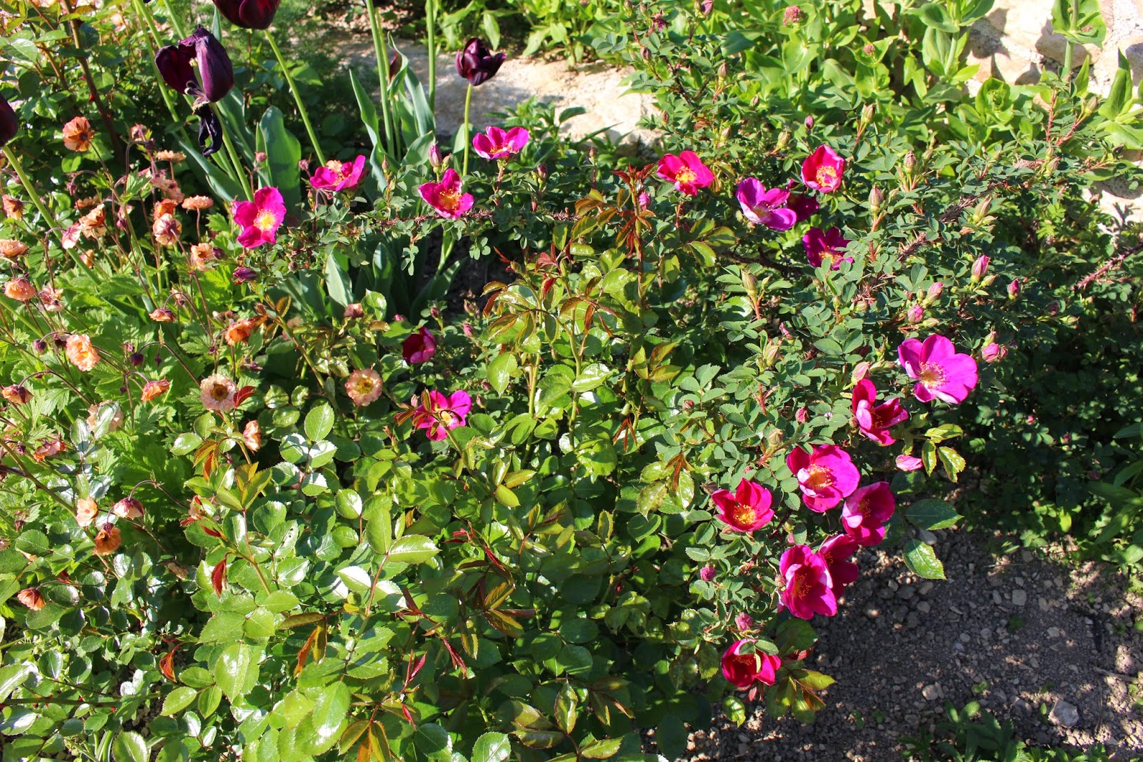 Les roses du jardin secret single cherry spinossima fin for Jardin 19eme siecle