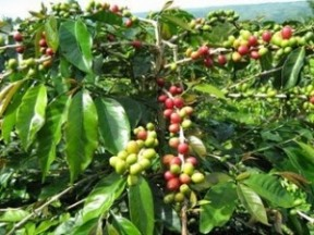 Control Pest and Disease Coffee Plants