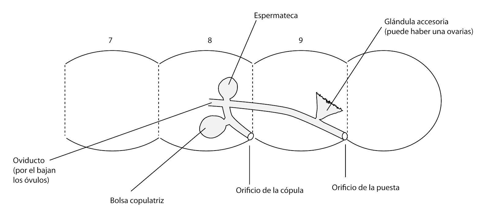 el moderno prometeo: Anatomía de Insectos: Abdomen
