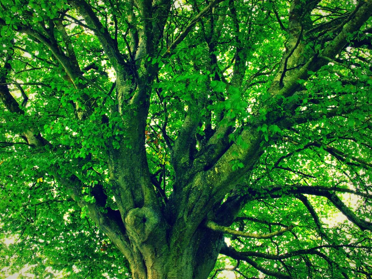 looking up into a big green tree