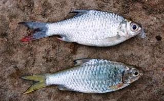 Umpan Jitu Memancing Ikan Tawes Dengan Umpan Alami