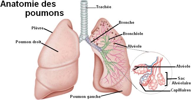 Résultats de recherche d'images pour «les poumons»