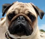 O Pug de nome Brutus...