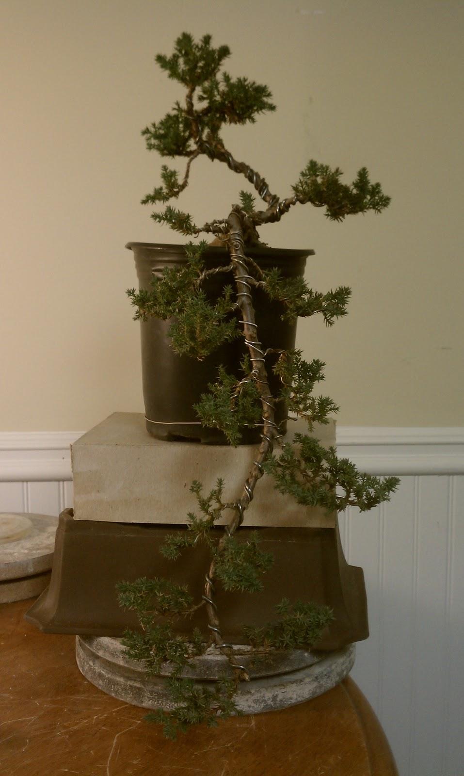 Bodhisattva Bonsai  Cascade Juniper  2 Update