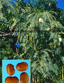 अगस्त पेड़ के पत्तों का औषधीय प्रयोग