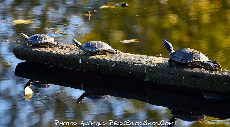 http://1.bp.blogspot.com/-ZdSpZHDSHtQ/Tt-aYMOTSgI/AAAAAAAACoA/tSDTULEvuz0/s1600/turtle%2Bpictures.jpg