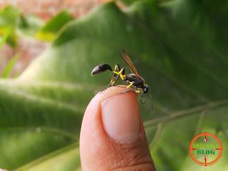 Jempol kiriku dan Lebah Sekarat