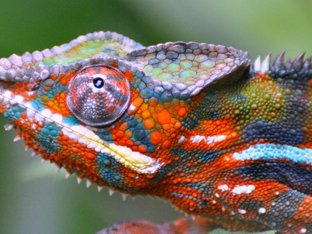 "<img src=""http://1.bp.blogspot.com/-ZdbcVk8pIzo/UtkJmIc4ihI/AAAAAAAAIbY/etr6TPRylBI/s1600/animal-wallpapers-reptiles-chameleon.jpeg"" alt=""reptiles wallpapers"" />"