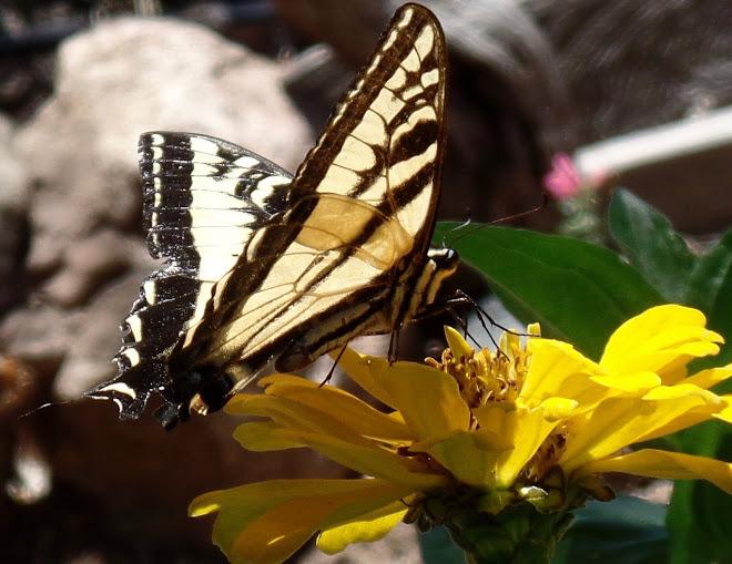 Butterfly on the zinnias alert!