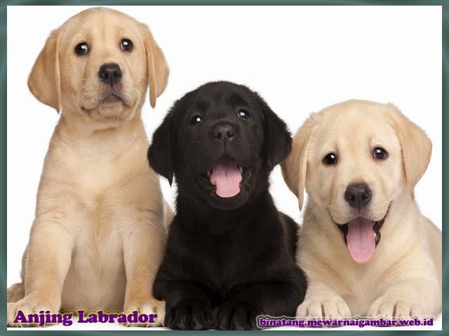 gambar anjing labrador
