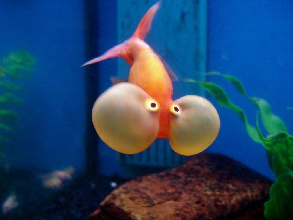 Pirana aquarium l 39 animale domestico pi diffuso al mondo for Pesce chicco di riso