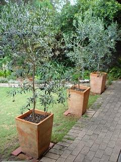 um jardim para cuidar adoro oliveiras em vaso. Black Bedroom Furniture Sets. Home Design Ideas