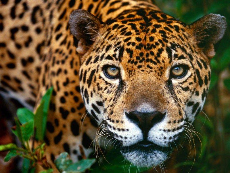 Leyenda guaraní de la yerba mate Jaguar