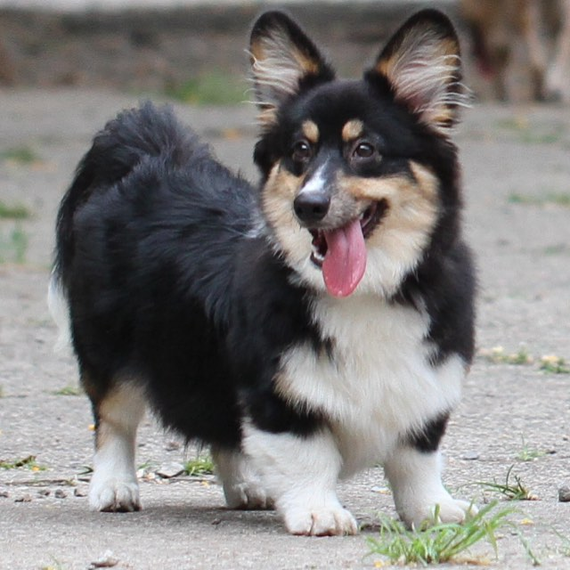 Dogs With Tri Color Name