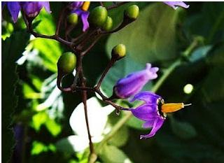 5 Bunga Cantik Terkenal Beracun Dan Mematikan