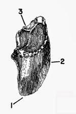 Bison antiquus wiki - photo#28