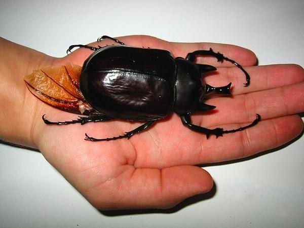 Acteon beetle