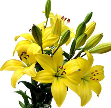 flowers for flower lovers. yellow lily flowers pictures., Beautiful flower