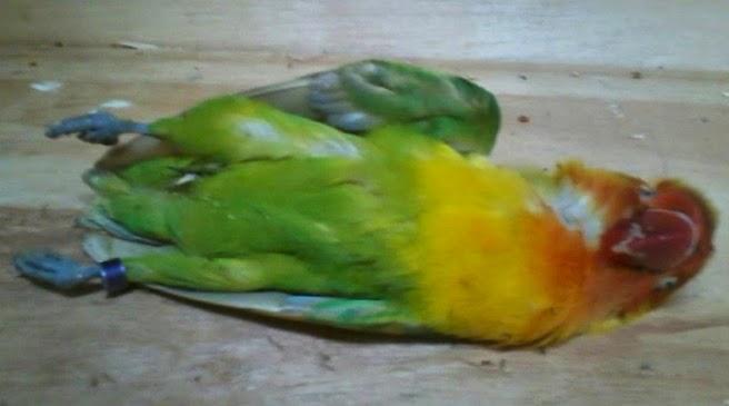 nyilet-pada-lovebird