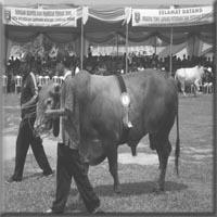 gambar lomba sapi yang bagus
