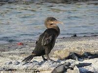 Galapagos Flightless Cormorant Espinosa Point