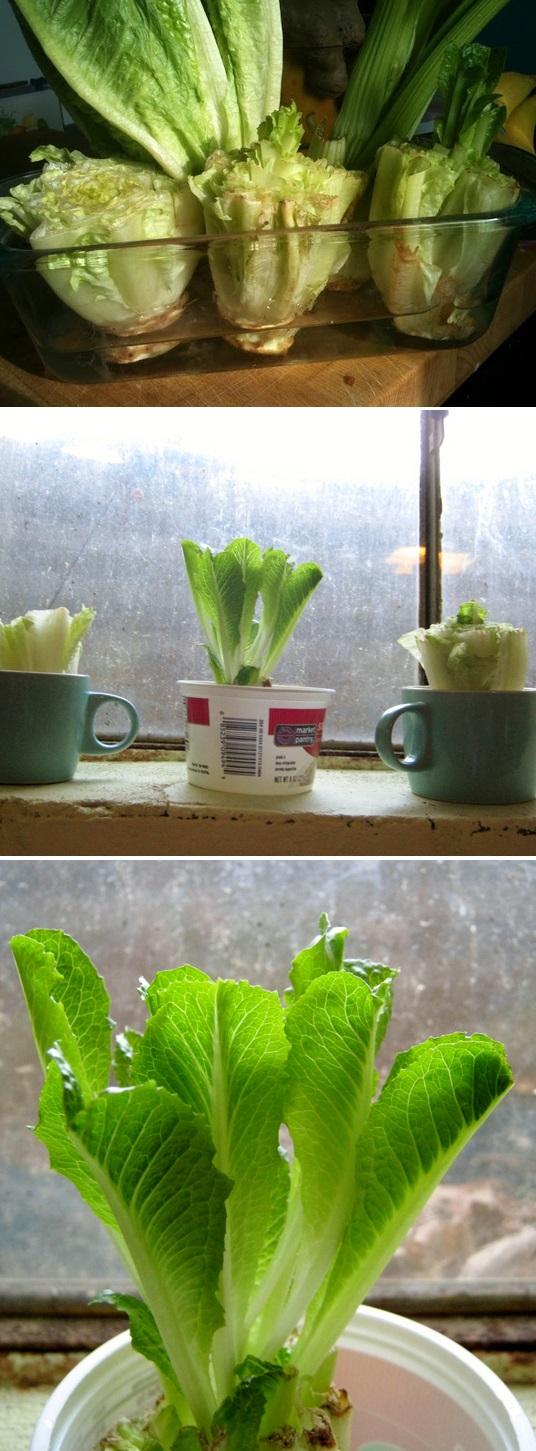 re grow romaine lettuce hearts. Black Bedroom Furniture Sets. Home Design Ideas