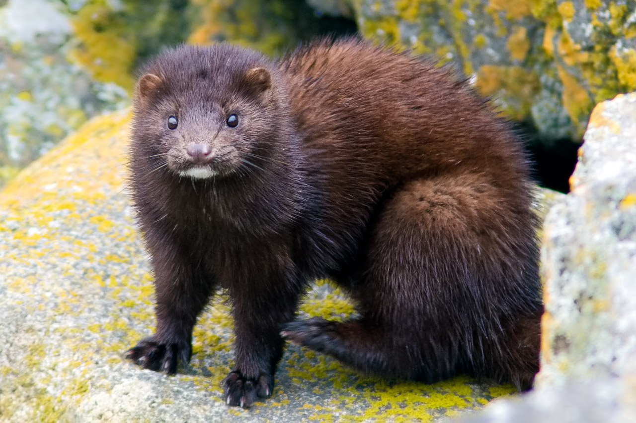 What family does the mink belong to - answers.com
