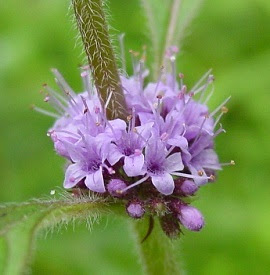 flowers for flower lovers.: Mint flowers.
