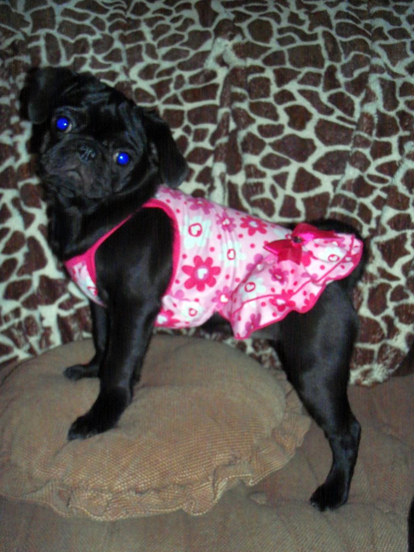 Bellatrix Im A Pug Black Pug Posse